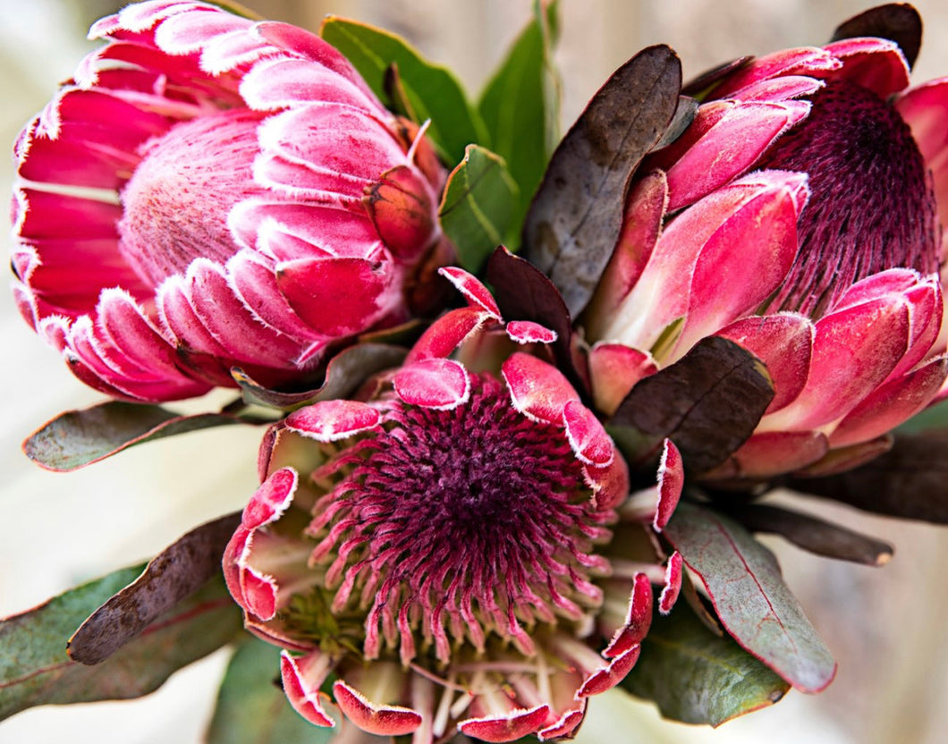 Pretty Protea - Paint by Number
