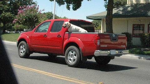 Dog dangerously travelling  unrestrained in a pickup truck bed.