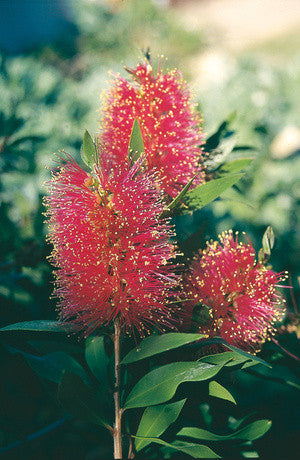 Queensland Bottlebrush