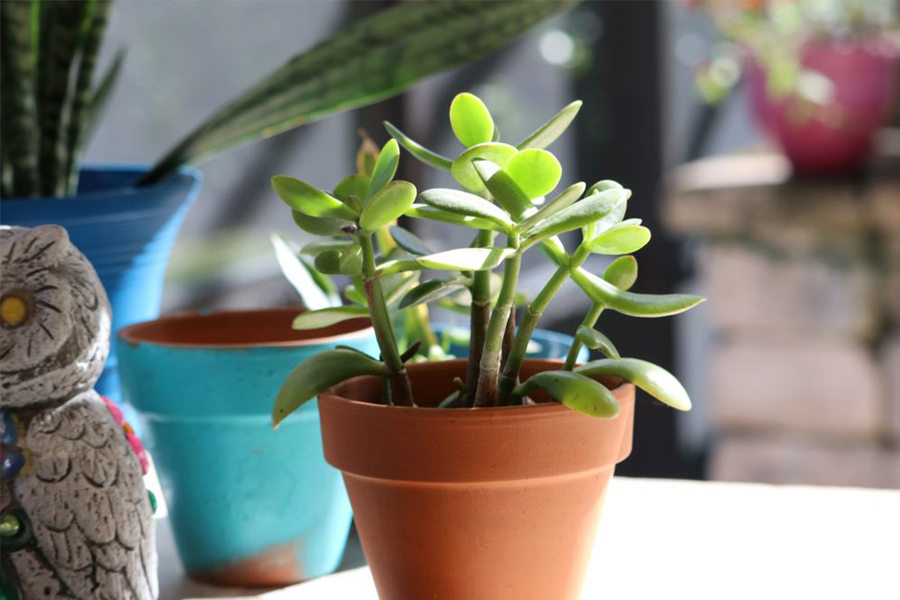 Caring For A Jade Plant - A Complete Guide