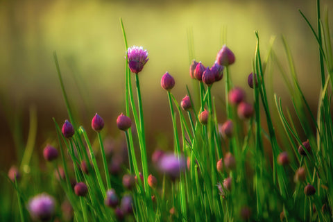 Chives Patio Plant