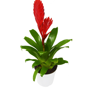 "Bromeliad Christiane - 4"" Pot"