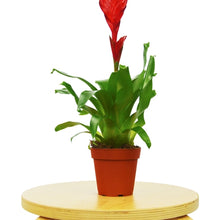 "Load image into Gallery viewer, Bromeliad Christiane - 4"" Pot"