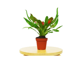 "Load image into Gallery viewer, Bromeliad Medusa - 4"" Pot"