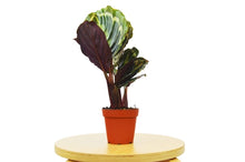 "Load image into Gallery viewer, Calathea Roseopicta Medallion 'Zebra' Plant - 4"" Pot"