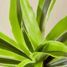 "Load image into Gallery viewer, Dracaena Deremensis 'Lemon Surprise' - 4"" Pot"