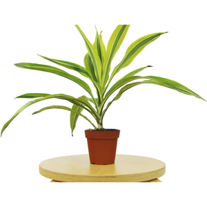 "Dracaena Deremensis 'Lemon Surprise' - 4"" Pot"