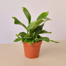 "Load image into Gallery viewer, Staghorn Fern - 4"" Pot"