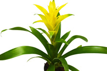 "Load image into Gallery viewer, Guzmania Bromeliad 'Yellow' - 4"" Pot"