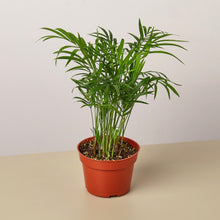 "Load image into Gallery viewer, Parlor Palm  - 4"" Pot"