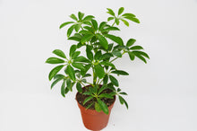 "Load image into Gallery viewer, Schefflera Arboricola 'Umbrella' - 4"" Pot"