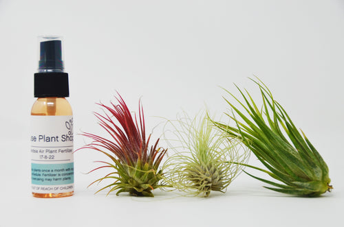 3 Small Tillandsia Air Plant Pack with Fertilizer Spray