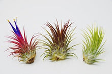 Load image into Gallery viewer, 3 Ionantha Guatemala Air Plants - 2 Inch