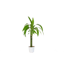 "Load image into Gallery viewer, Dracaena Elegance - 4"" Pot"