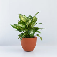 Load image into Gallery viewer, Dieffenbachia Plant & Pot