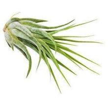 Load image into Gallery viewer, Tillandsia Air Plant Kolby