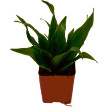 "Load image into Gallery viewer, Dracaena Janet Craig - 2.25"" Pot"