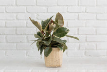 "Load image into Gallery viewer, 6"" Tineke Rubber Plant + Basket"