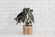 "Load image into Gallery viewer, 6"" Alocasia Poly + Basket"