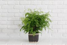 "Load image into Gallery viewer, 6"" Maidenhair Fern + Basket"