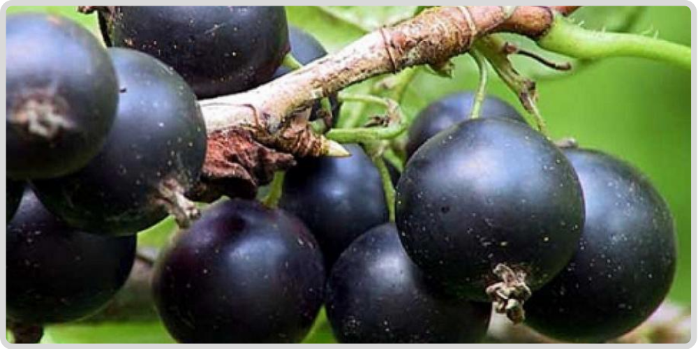 Useful properties, usage and contraindications of  Blackcurrant (Ripes nigrum) Смородина черная.