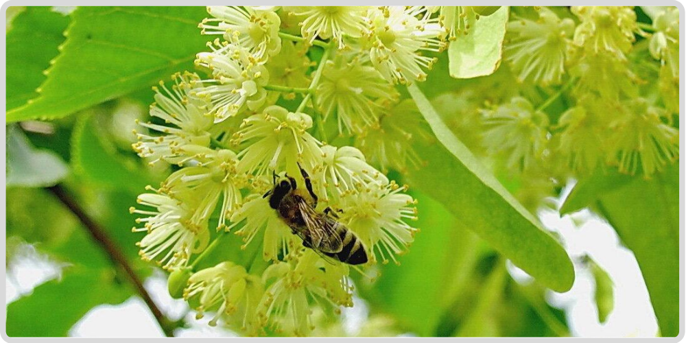 Useful properties, usage and contraindications of Linden Flowers (Flores Tiliae) Липа.
