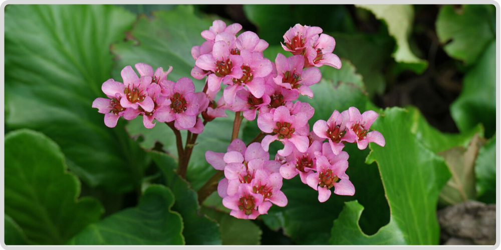 Badan Tea (Bergenia crassifolia)