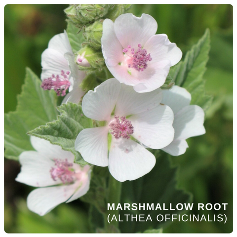 Marshmallow root (Althea Officinalis)