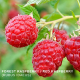 Wild Harvested Organic Forest Raspberry / Red Raspberry Leaves (Rubus idaeus), Малина лесная from Altai Mountains.