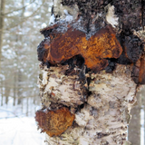 Wild Harvested Organic Siberian Chaga Mushroom Crushed (Inonotus Obliquus) from The Ecologically Clean Shores of Lake Baikal Fresh Harvest Direct from Siberia