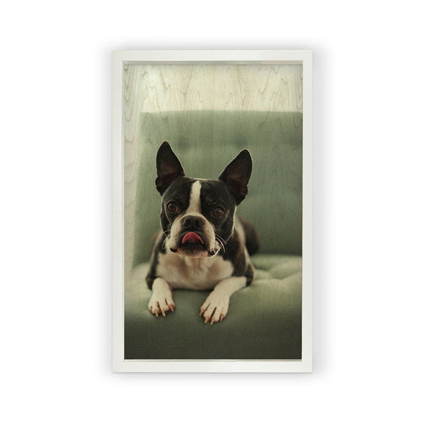 Boston Terrier <br>Framed Photography