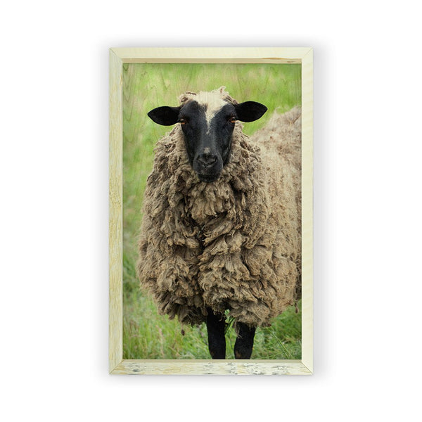 Sheep <br>Framed Photography