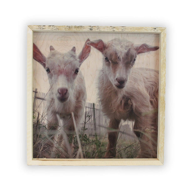 Baby Goats <br>Framed Photography