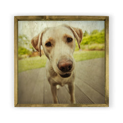 Yellow Labrador Framed Photography