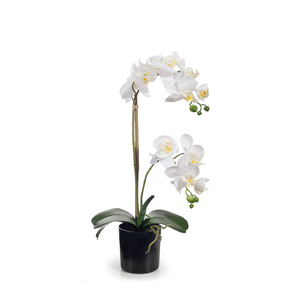 Orchid Phalaenopsis in Pot 55cm