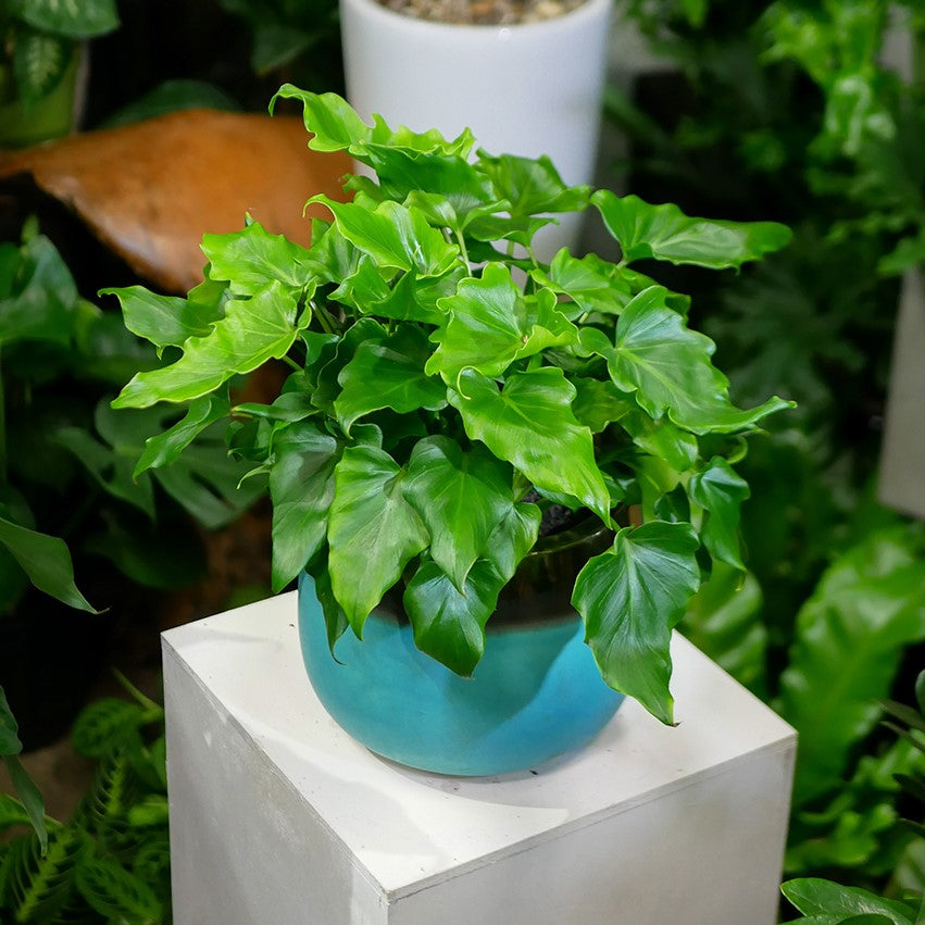 Philodendron Little Hope