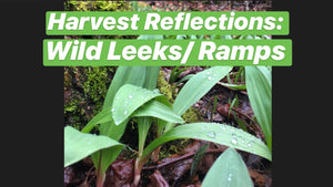 Wild Leeks/ Ramps: Reflections on Harvesting & Entitlement