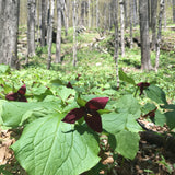 A steep hillside filled with flowering red trilliums & wild leeks