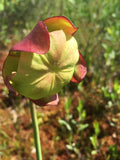 Pitcher Plant Flower Essence