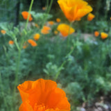 Tincture, California Poppy, 1oz