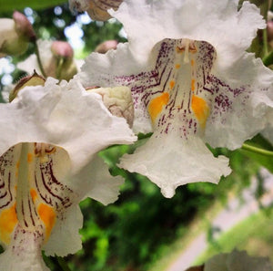 Catalpa Flower Essence