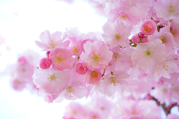 Pink flowers that have bloomed