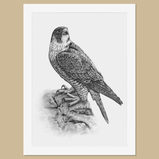 Original Peregrine Pencil Drawing - The Thriving Wild - Jill Dimond