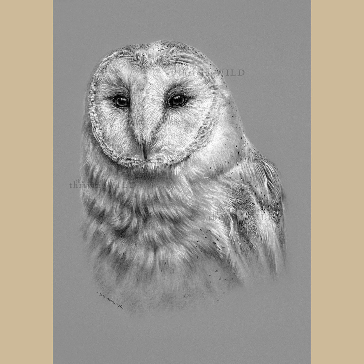 Barn Owl Charcoal Drawing - The Thriving Wild - Jill Dimond