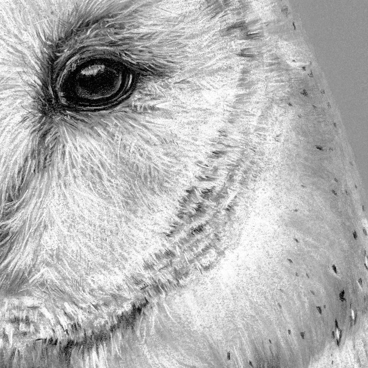 Barn Owl Close-up Drawing 2 - The Thriving Wild