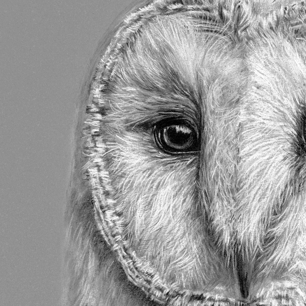 Barn Owl Drawing Close-up 1 - The Thriving Wild