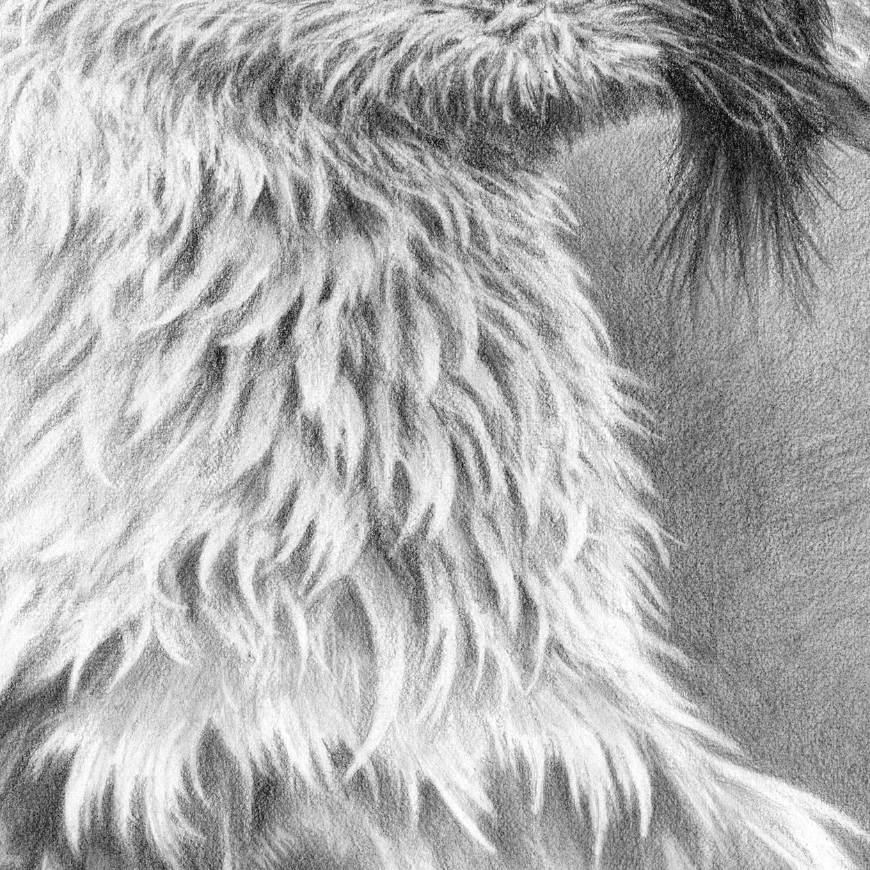 Bearded Vulture Drawing CLose-up 2 - The Thriving Wild - Jill Dimond