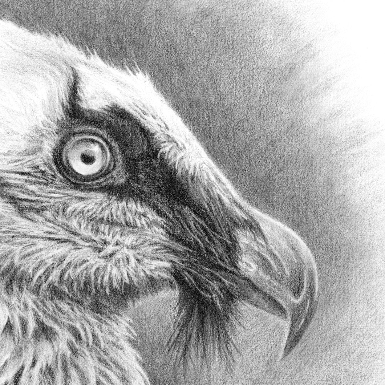 Bearded Vulture Drawing Close-up 1 - The Thriving Wild - Jill Dimond