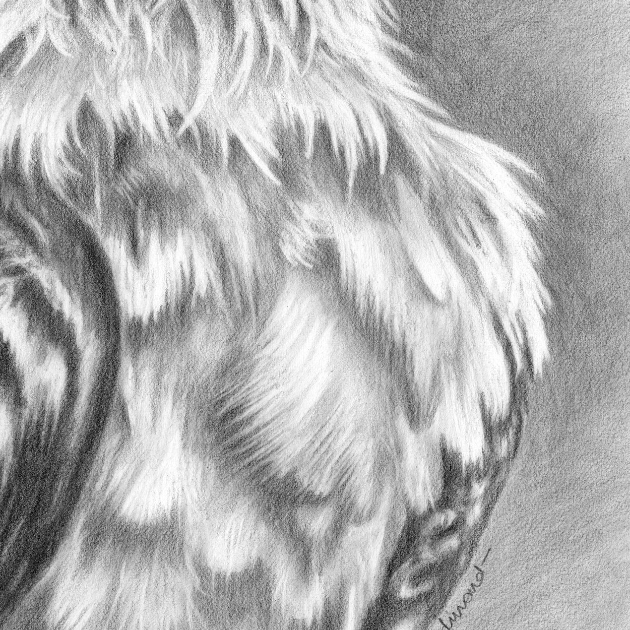 Bearded Vulture Drawing Close-up 3 - The Thriving Wild - Jill Dimond