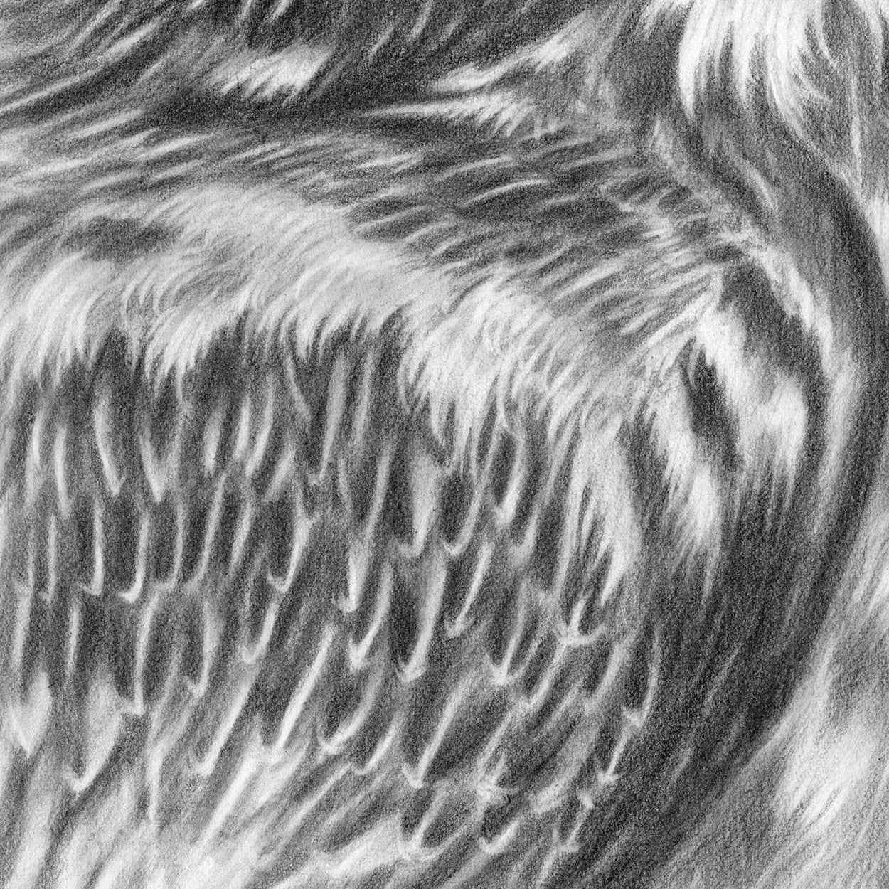 Bearded Vulture Drawing Close-up 4 - The Thriving Wild - Jill Dimond